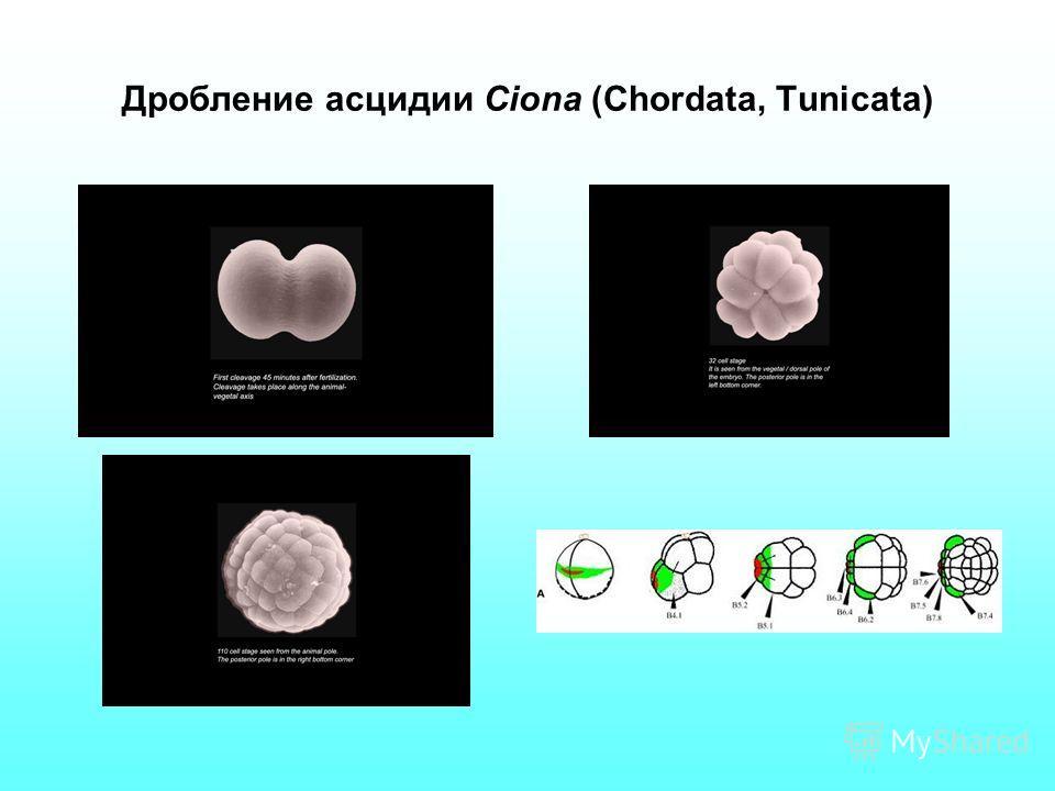 Дробление асцидии Ciona (Chordata, Tunicata)