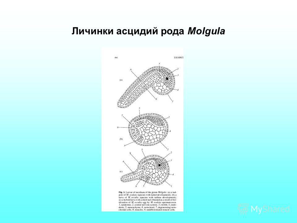 Личинки асцидий рода Molgula