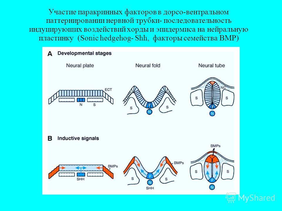 Участие паракринных факторов в дорсо-вентральном паттернировании нервной трубки- последовательность индуцирующих воздействий хорды и эпидермиса на нейральную пластинку (Sonic hedgehog- Shh, факторы семейства BMP)