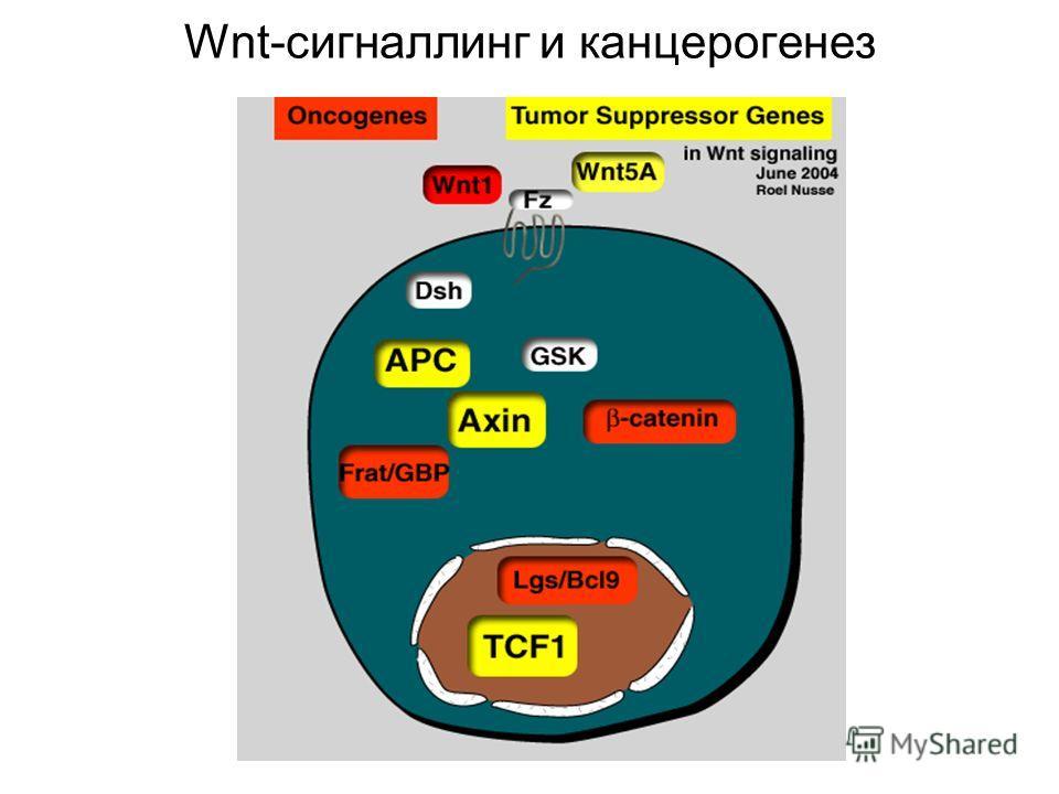 Wnt-сигналлинг и канцерогенез