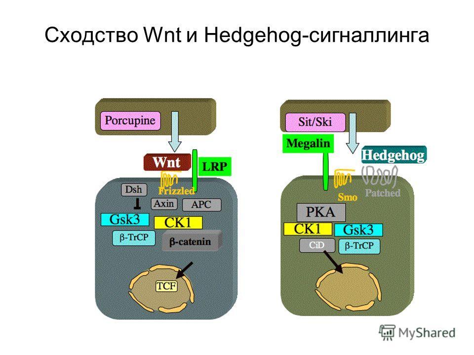 Сходство Wnt и Hedgehog-сигналлинга
