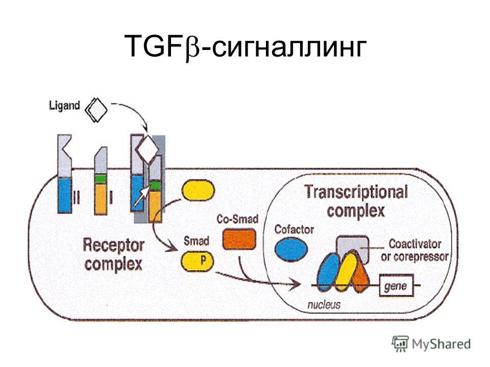 TGF -сигналлинг