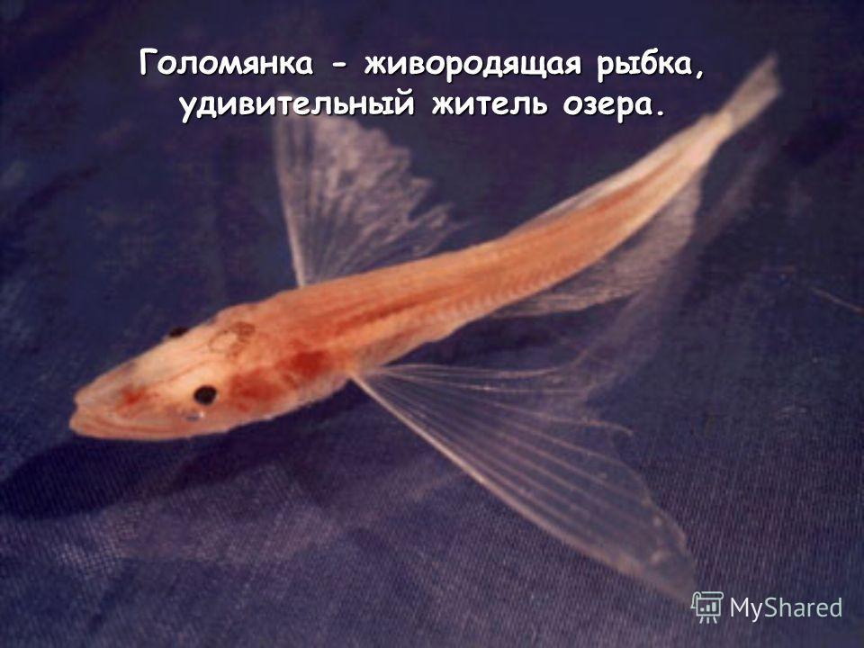 Голомянка - живородящая рыбка, удивительный житель озера.