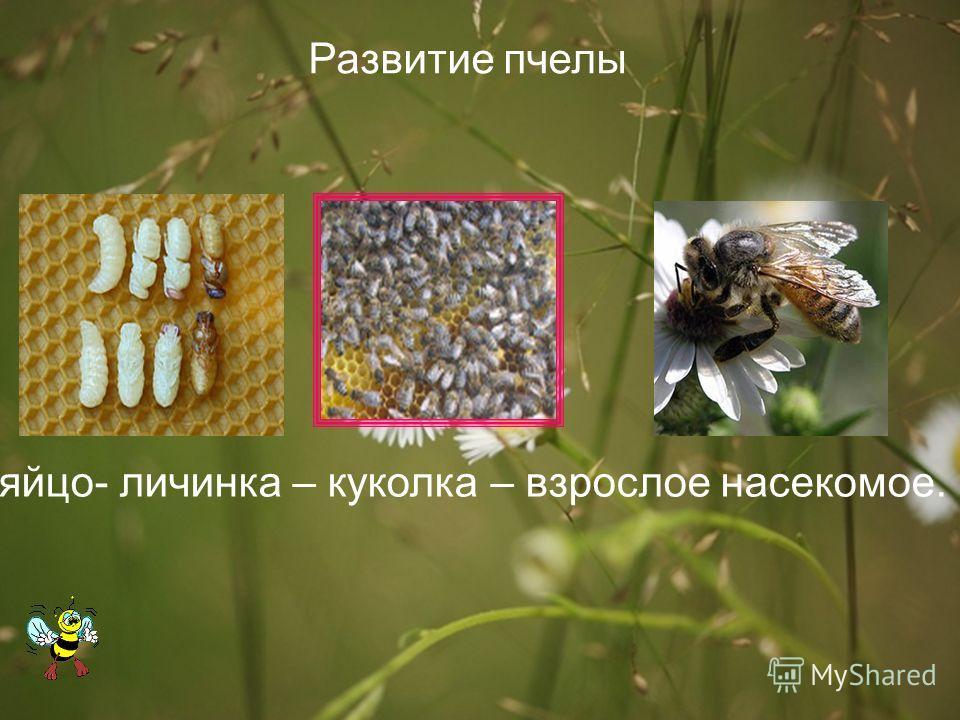 яйцо- личинка – куколка – взрослое насекомое. Развитие пчелы