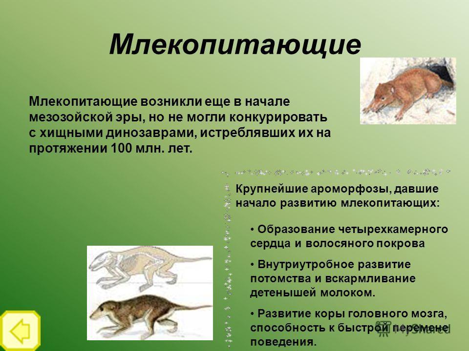 Млекопитающие Млекопитающие возникли еще в начале мезозойской эры, но не могли конкурировать с хищными динозаврами, истреблявших их на протяжении 100 млн. лет. Крупнейшие ароморфозы, давшие начало развитию млекопитающих: Образование четырехкамерного