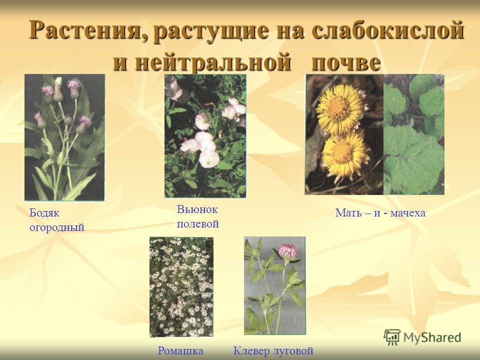 Растения, растущие на слабокислой и нейтральной почве Бодяк огородный Вьюнок полевой Мать – и - мачеха РомашкаКлевер луговой