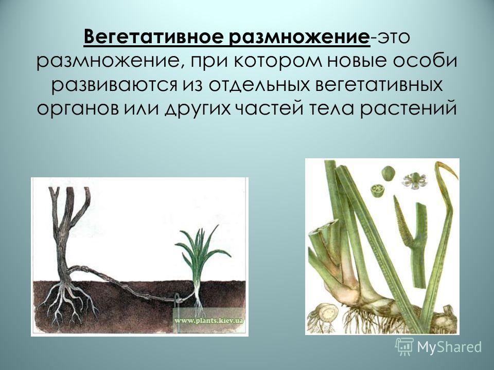 Вегетативное размножение -это размножение, при котором новые особи развиваются из отдельных вегетативных органов или других частей тела растений