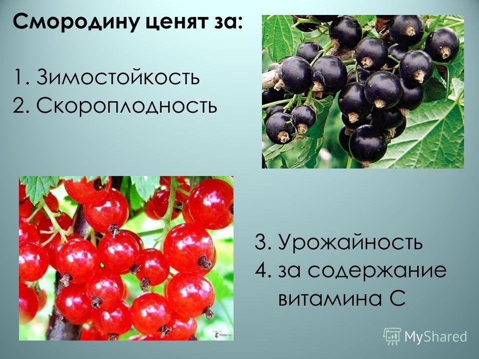 Смородину ценят за: 1. Зимостойкость 2. Скороплодность 3. Урожайность 4. за содержание витамина С