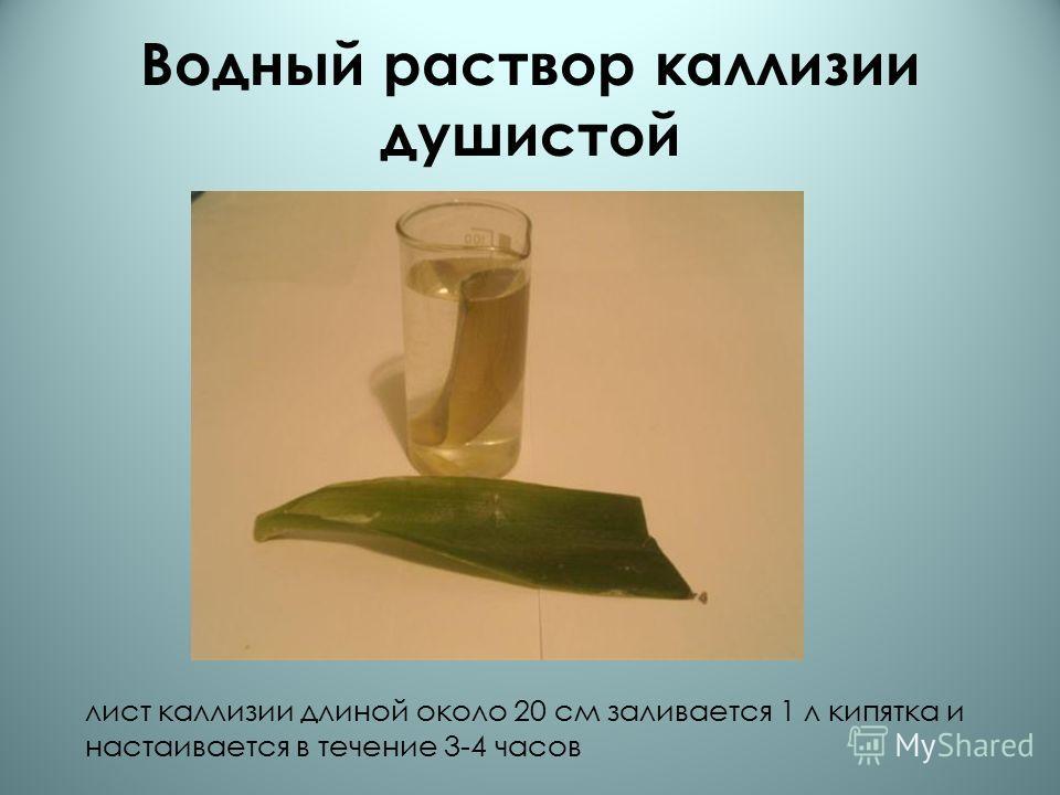 Водный раствор каллизии душистой лист каллизии длиной около 20 см заливается 1 л кипятка и настаивается в течение 3-4 часов