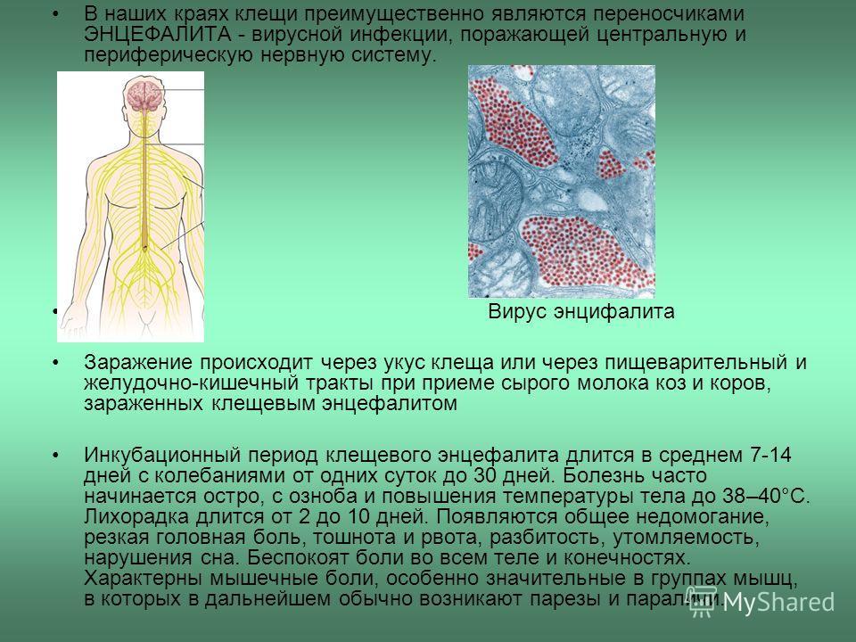 В наших краях клещи преимущественно являются переносчиками ЭНЦЕФАЛИТА - вирусной инфекции, поражающей центральную и периферическую нервную систему. Вирус энцифалита Заражение происходит через укус клеща или через пищеварительный и желудочно-кишечный