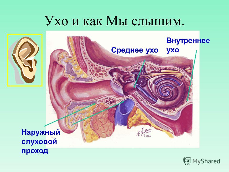 Ухо и как Мы слышим. Наружный слуховой проход Среднее ухо Внутреннее ухо