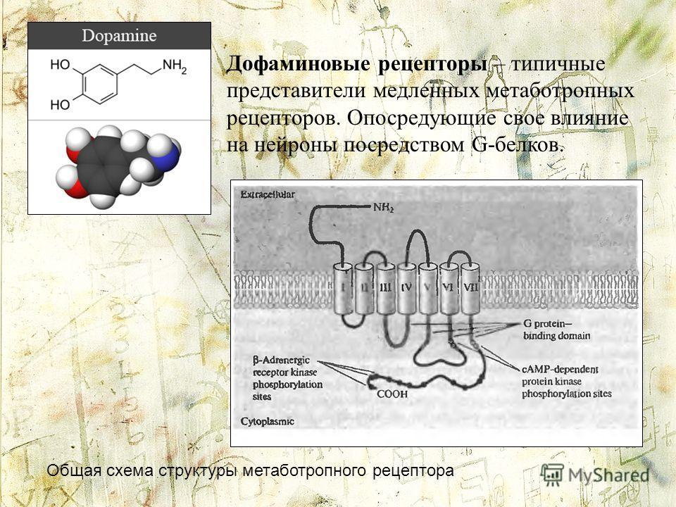 Дофаминовые рецепторы – типичные представители медленных метаботропных рецепторов. Опосредующие свое влияние на нейроны посредством G-белков. Общая схема структуры метаботропного рецептора
