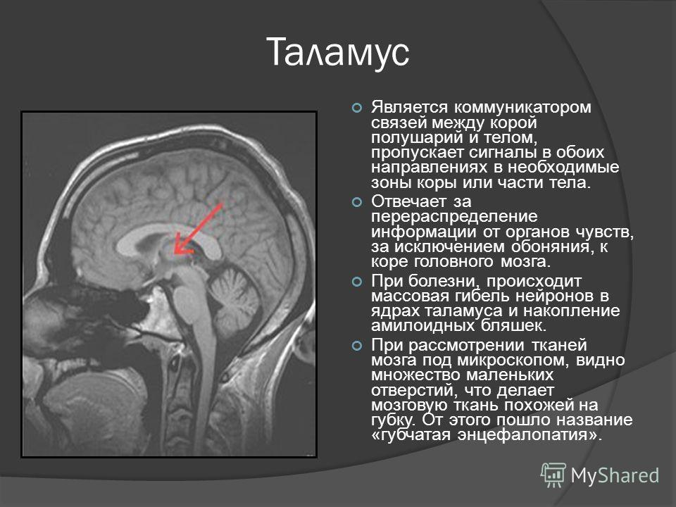 Таламус Является коммуникатором связей между корой полушарий и телом, пропускает сигналы в обоих направлениях в необходимые зоны коры или части тела. Отвечает за перераспределение информации от органов чувств, за исключением обоняния, к коре головног