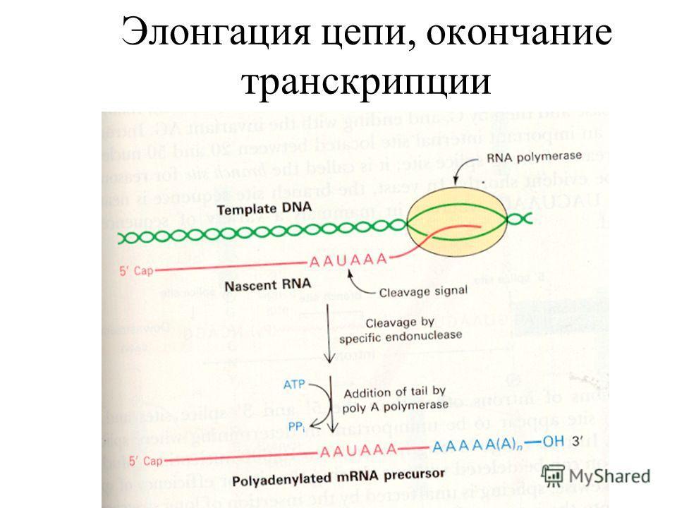 Элонгация цепи, окончание транскрипции