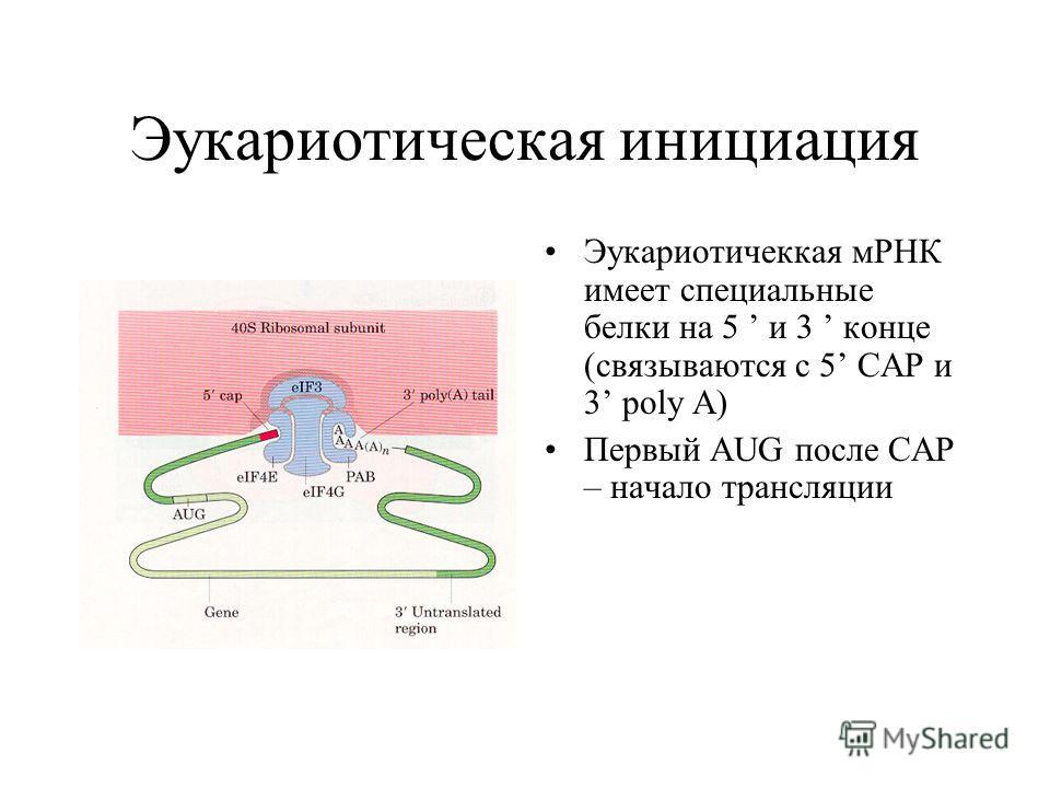 Эукариотическая инициация Эукариотичеккая мРНК имеет специальные белки на 5 и 3 конце (связываются с 5 CAP и 3 poly A) Первый AUG после CAP – начало трансляции