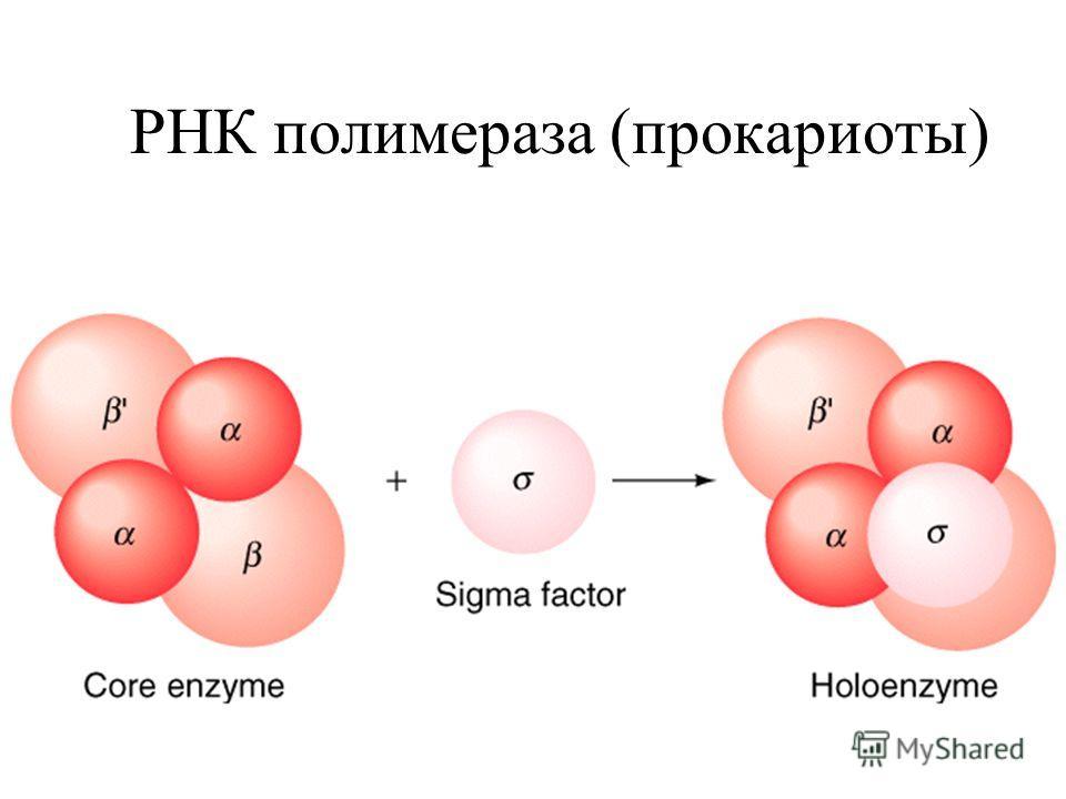 РНК полимераза (прокариоты)