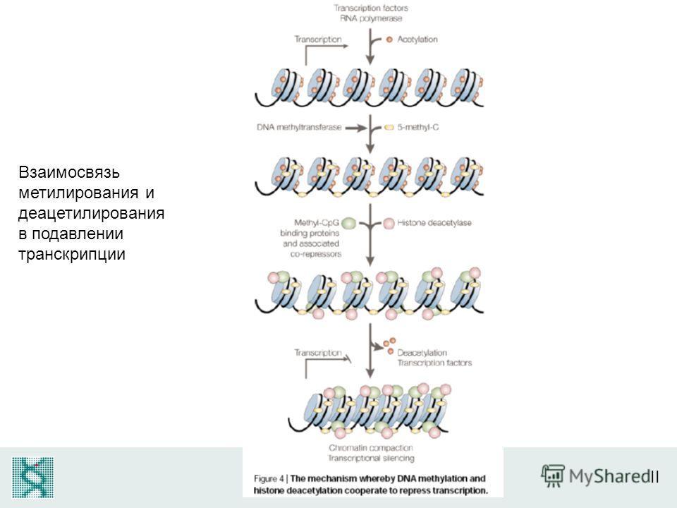 Взаимосвязь метилирования и деацетилирования в подавлении транскрипции
