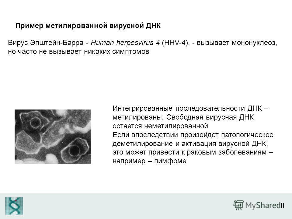 II Пример метилированной вирусной ДНК Вирус Эпштейн-Барра - Human herpesvirus 4 (HHV-4), - вызывает мононуклеоз, но часто не вызывает никаких симптомов Интегрированные последовательности ДНК – метилированы. Свободная вирусная ДНК остается неметилиров