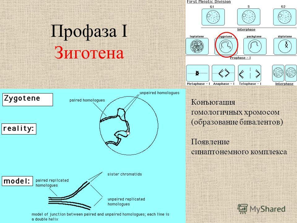 Профаза I Зиготена Конъюгация гомологичных хромосом (образование бивалентов) Появление синаптонемного комплекса