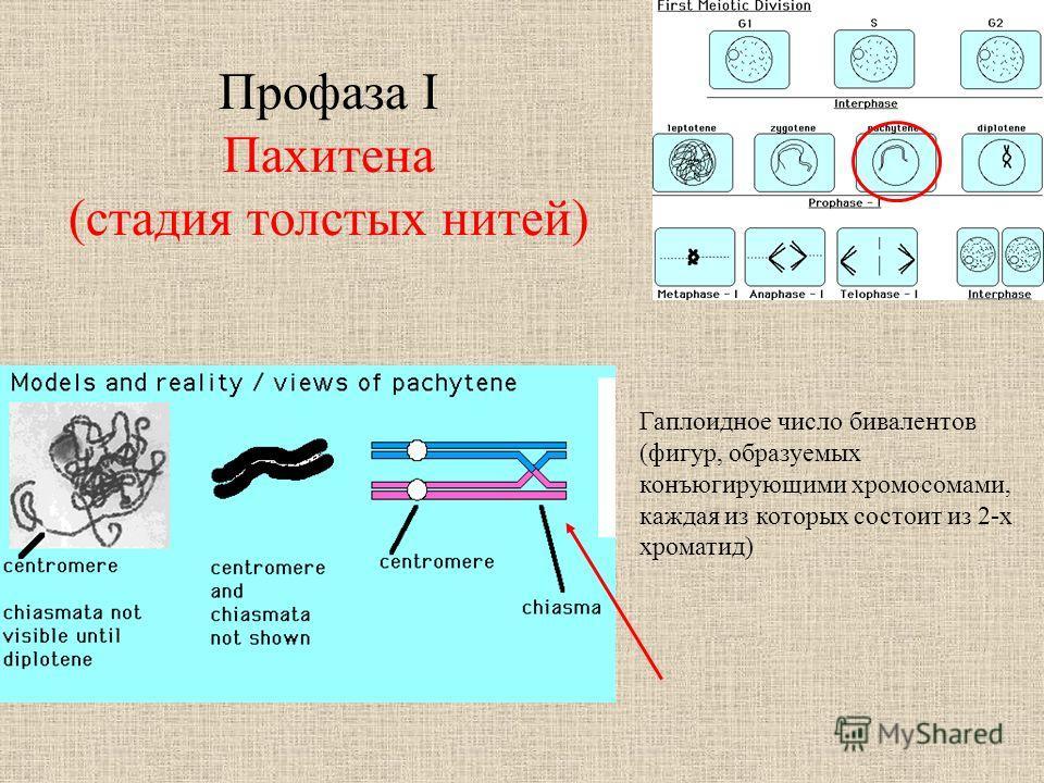 Профаза I Пахитена (стадия толстых нитей) Гаплоидное число бивалентов (фигур, образуемых конъюгирующими хромосомами, каждая из которых состоит из 2-х хроматид)