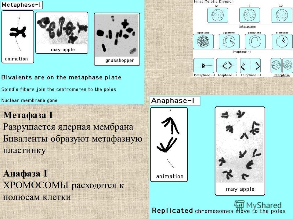 Метафаза I Разрушается ядерная мембрана Биваленты образуют метафазную пластинку Анафаза I ХРОМОСОМЫ расходятся к полюсам клетки