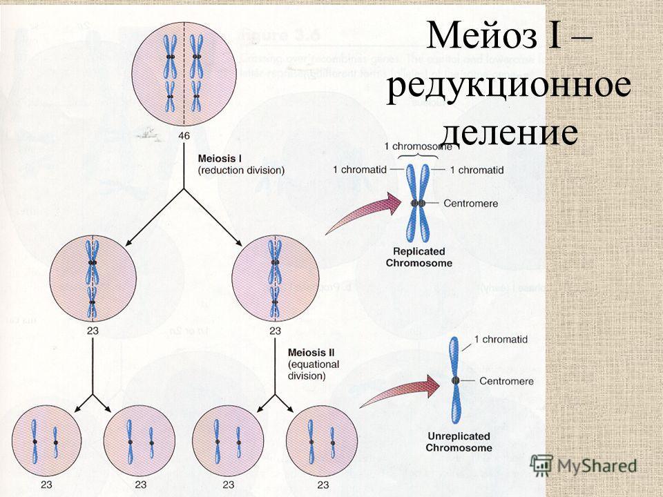 Мейоз I – редукционное деление
