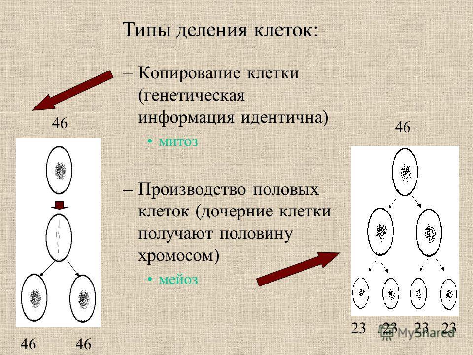 –Копирование клетки (генетическая информация идентична) митоз –Производство половых клеток (дочерние клетки получают половину хромосом) мейоз 46 23 23 23 23 Типы деления клеток: