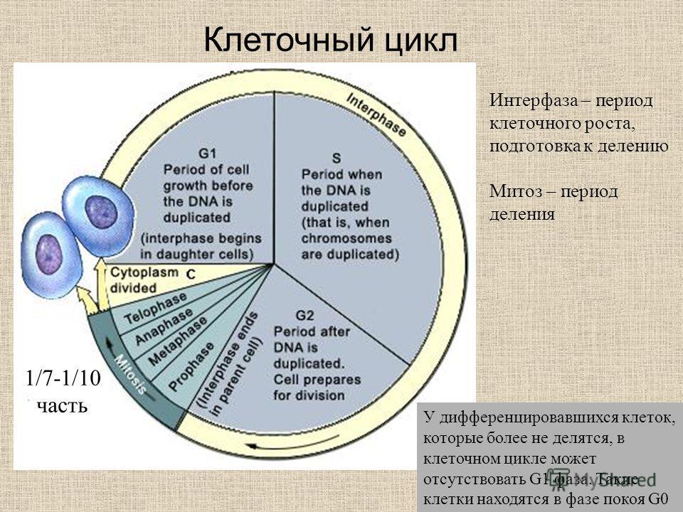 Клеточный цикл Интерфаза – период клеточного роста, подготовка к делению Митоз – период деления 1/7-1/10 часть У дифференцировавшихся клеток, которые более не делятся, в клеточном цикле может отсутствовать G1 фаза. Такие клетки находятся в фазе покоя