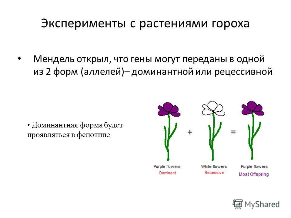 Эксперименты с растениями гороха Мендель открыл, что гены могут переданы в одной из 2 форм (аллелей)– доминантной или рецессивной Доминантная форма будет проявляться в фенотипе