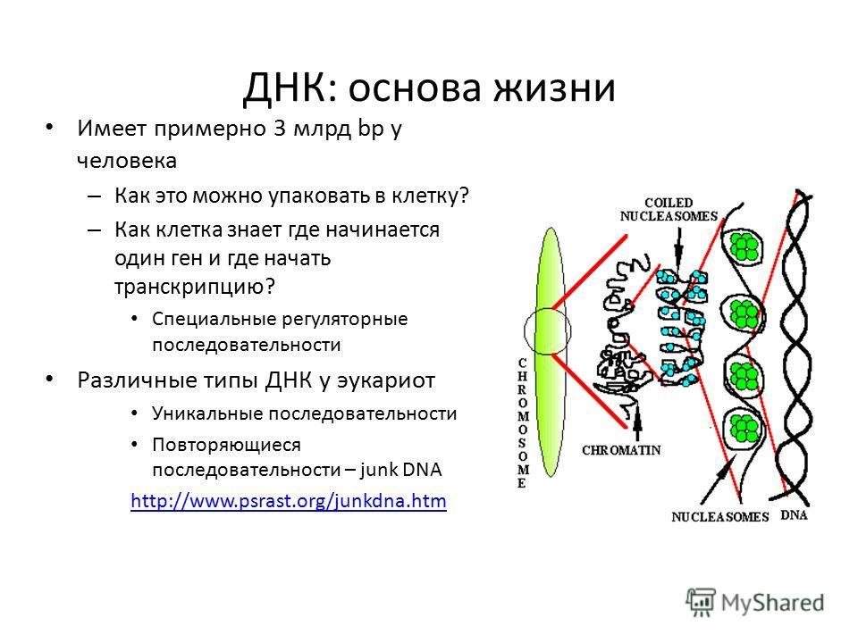 ДНК: основа жизни Имеет примерно 3 млрд bp у человека – Как это можно упаковать в клетку? – Как клетка знает где начинается один ген и где начать транскрипцию? Специальные регуляторные последовательности Различные типы ДНК у эукариот Уникальные после