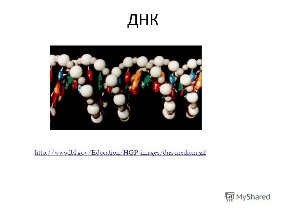 ДНК http://www.lbl.gov/Education/HGP-images/dna-medium.gif