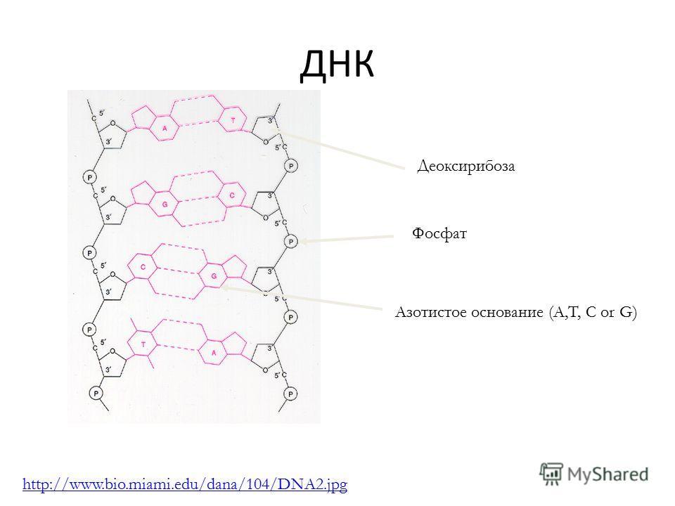 ДНК Фосфат Азотистое основание (A,T, C or G) http://www.bio.miami.edu/dana/104/DNA2.jpg Деоксирибоза