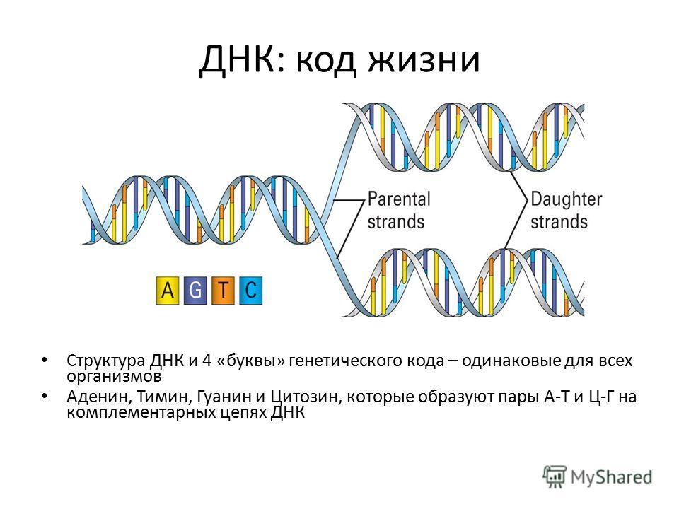 ДНК: код жизни Структура ДНК и 4 «буквы» генетического кода – одинаковые для всех организмов Аденин, Тимин, Гуанин и Цитозин, которые образуют пары А-Т и Ц-Г на комплементарных цепях ДНК
