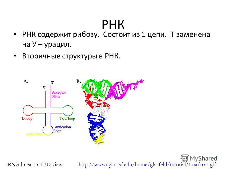 РНК РНК содержит рибозу. Состоит из 1 цепи. T заменена на У – урацил. Вторичные структуры в РНК. http://www.cgl.ucsf.edu/home/glasfeld/tutorial/trna/trna.giftRNA linear and 3D view: