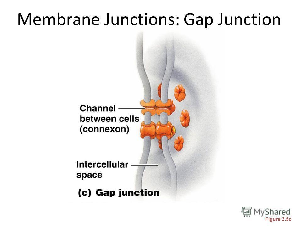 Membrane Junctions: Gap Junction Figure 3.5c