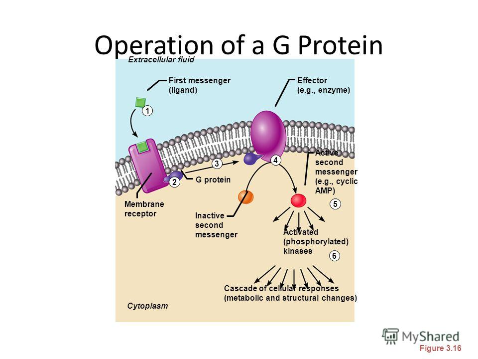 Operation of a G Protein Figure 3.16 Extracellular fluid Cytoplasm Inactive second messenger Cascade of cellular responses (metabolic and structural changes) Effector (e.g., enzyme) Activated (phosphorylated) kinases First messenger (ligand) Active s