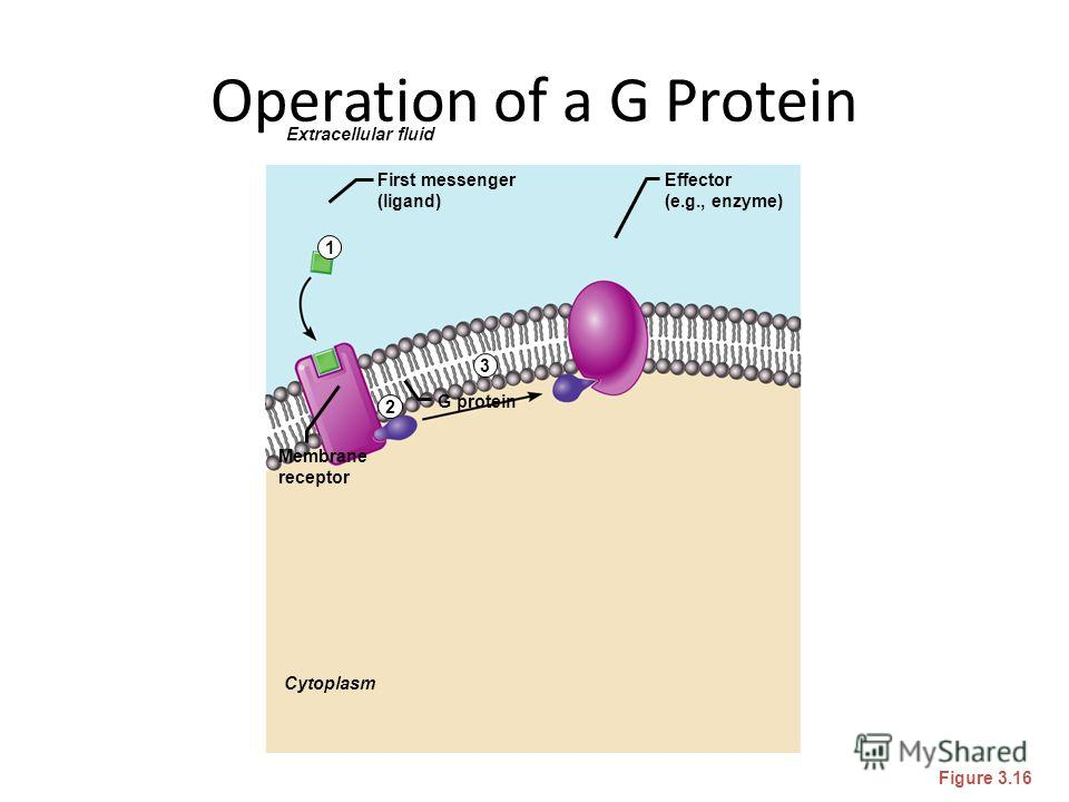 Operation of a G Protein Figure 3.16 Extracellular fluid Cytoplasm Effector (e.g., enzyme) First messenger (ligand) Membrane receptor G protein 1 2 3