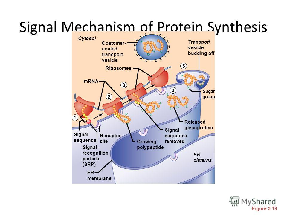 Signal Mechanism of Protein Synthesis Figure 3.19 Cytosol Ribosomes mRNA Coatomer- coated transport vesicle Transport vesicle budding off Released glycoprotein ER cisterna ER membrane Signal- recognition particle (SRP) Signal sequence Receptor site S