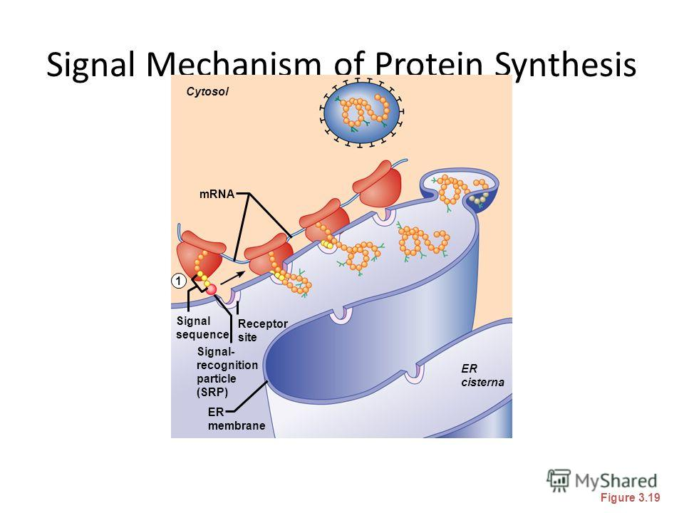 Signal Mechanism of Protein Synthesis Figure 3.19 Cytosol mRNA ER cisterna ER membrane Signal- recognition particle (SRP) Signal sequence Receptor site 1