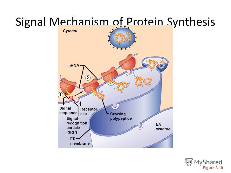 Signal Mechanism of Protein Synthesis Figure 3.19 Cytosol mRNA ER cisterna ER membrane Signal- recognition particle (SRP) Signal sequence Receptor site Growing polypeptide 1 2