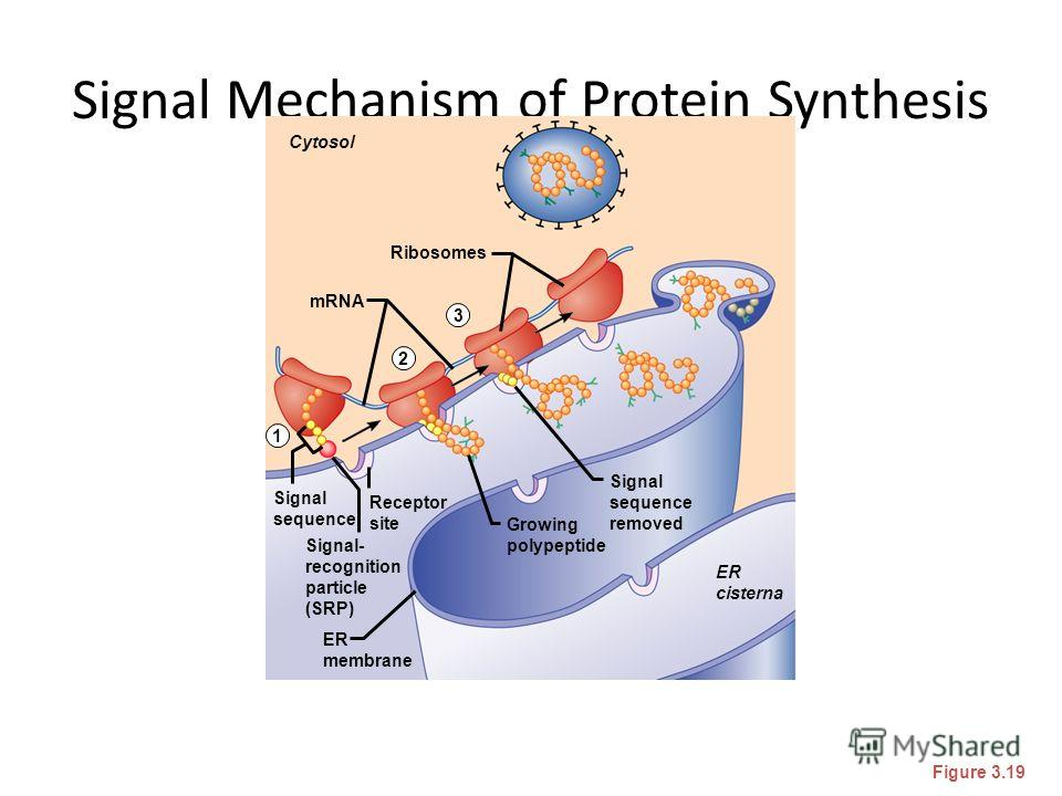 Signal Mechanism of Protein Synthesis Figure 3.19 Cytosol Ribosomes mRNA ER cisterna ER membrane Signal- recognition particle (SRP) Signal sequence Receptor site Signal sequence removed Growing polypeptide 1 2 3