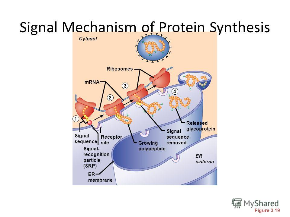 Signal Mechanism of Protein Synthesis Figure 3.19 Cytosol Ribosomes mRNA Released glycoprotein ER cisterna ER membrane Signal- recognition particle (SRP) Signal sequence Receptor site Signal sequence removed Growing polypeptide 1 2 3 4