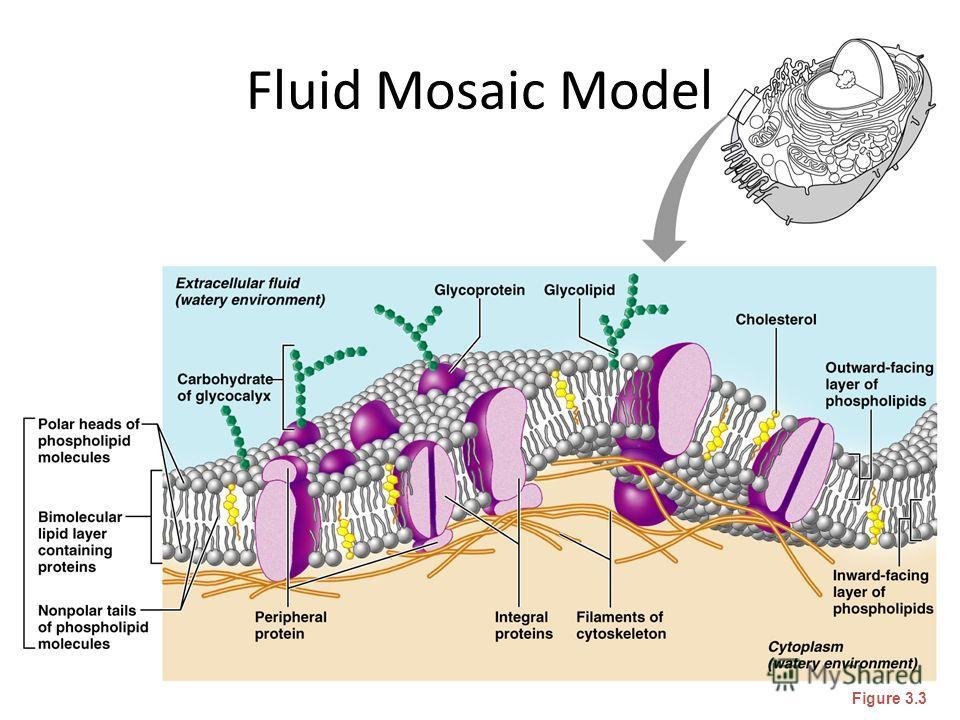 Fluid Mosaic Model Figure 3.3