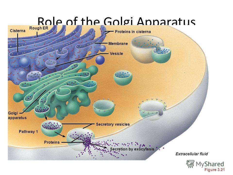 Role of the Golgi Apparatus Figure 3.21 Secretion by exocytosis Extracellular fluid Proteins in cisterna Membrane Vesicle Secretory vesicles Proteins Pathway 1 Golgi apparatus Cisterna Rough ER