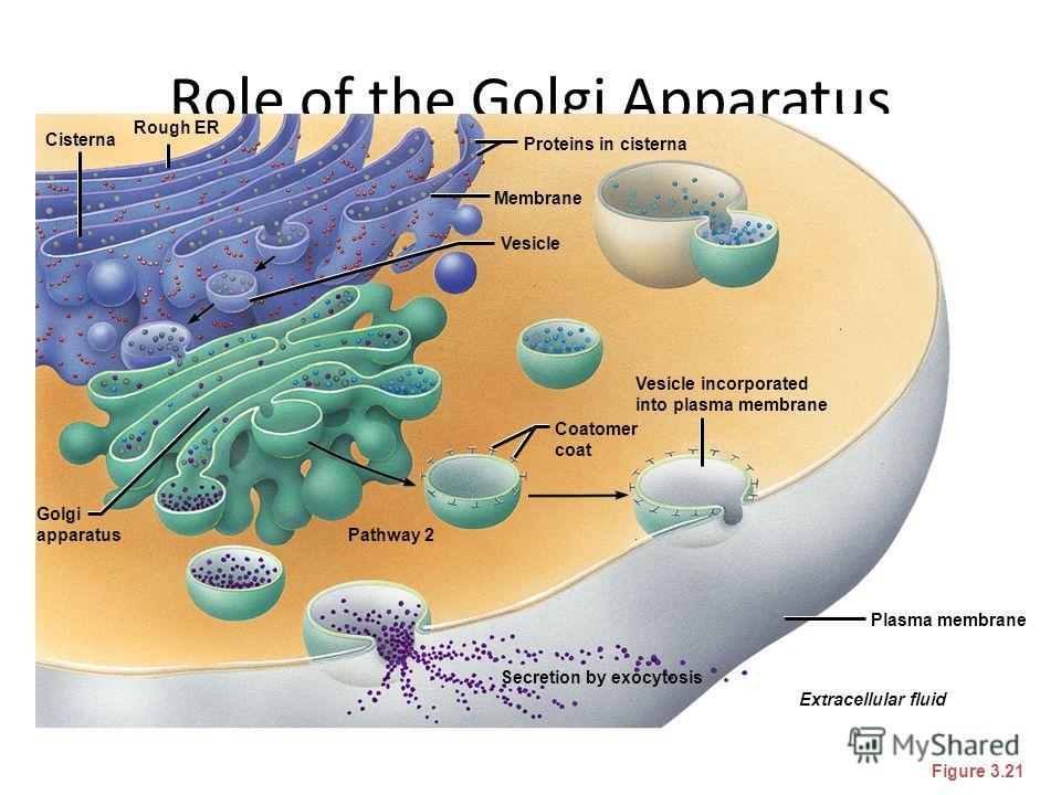 Role of the Golgi Apparatus Figure 3.21 Secretion by exocytosis Extracellular fluid Plasma membrane Vesicle incorporated into plasma membrane Coatomer coat Proteins in cisterna Membrane Vesicle Pathway 2 Golgi apparatus Cisterna Rough ER