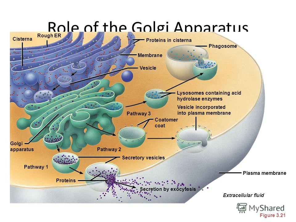 Role of the Golgi Apparatus Figure 3.21 Secretion by exocytosis Extracellular fluid Plasma membrane Vesicle incorporated into plasma membrane Coatomer coat Lysosomes containing acid hydrolase enzymes Phagosome Proteins in cisterna Membrane Vesicle Pa