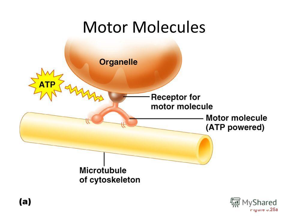 Motor Molecules Figure 3.25a