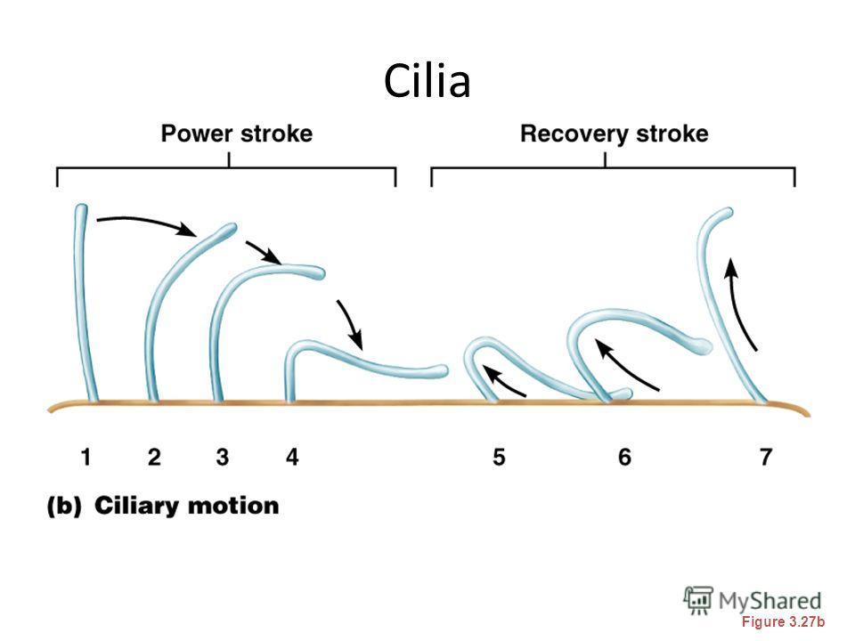 Cilia Figure 3.27b