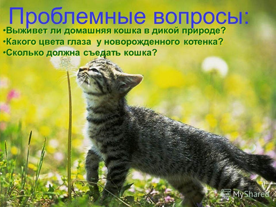 Проблемные вопросы: Выживет ли домашняя кошка в дикой природе? Какого цвета глаза у новорожденного котенка? Сколько должна съедать кошка? Выживет ли домашняя кошка в дикой природе? Какого цвета глаза у новорожденного котенка? Сколько должна съедать к