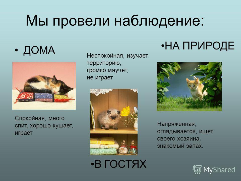 Мы провели наблюдение: ДОМА Спокойная, много спит, хорошо кушает, играет Неспокойная, изучает территорию, громко мяучет, не играет Напряженная, оглядывается, ищет своего хозяина, знакомый запах. В ГОСТЯХ НА ПРИРОДЕ